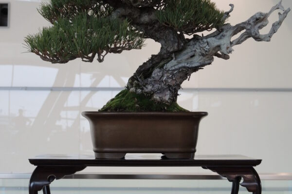 white pine with series 5