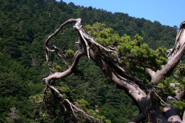 natural bonsai V