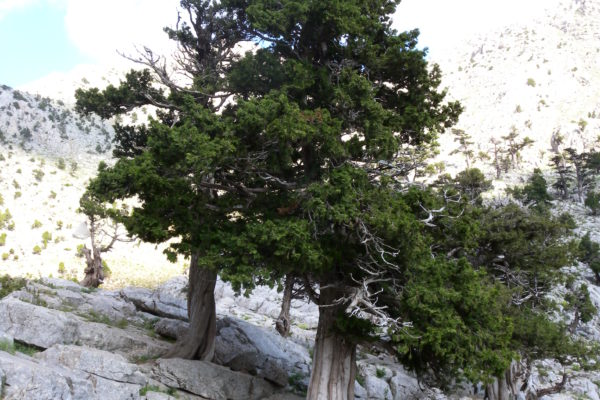natural bonsai tree I