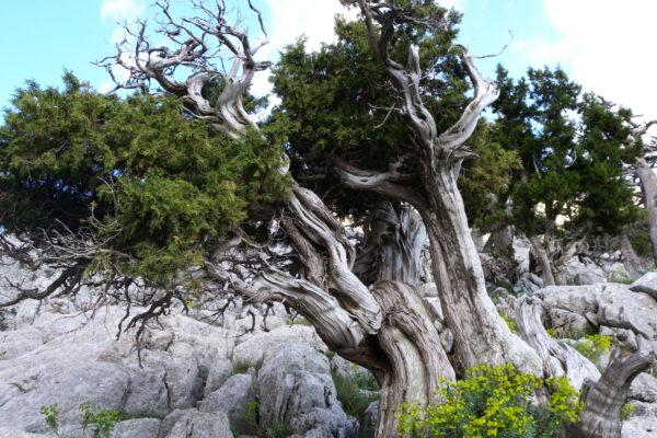 natural bonsai tree II