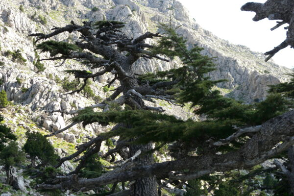 cedar with dead branches