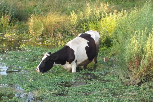 hungry cow