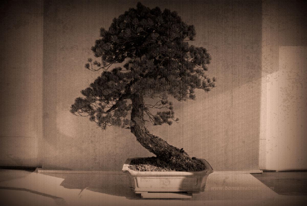 Goyo matsu (pinus parviflora) 2