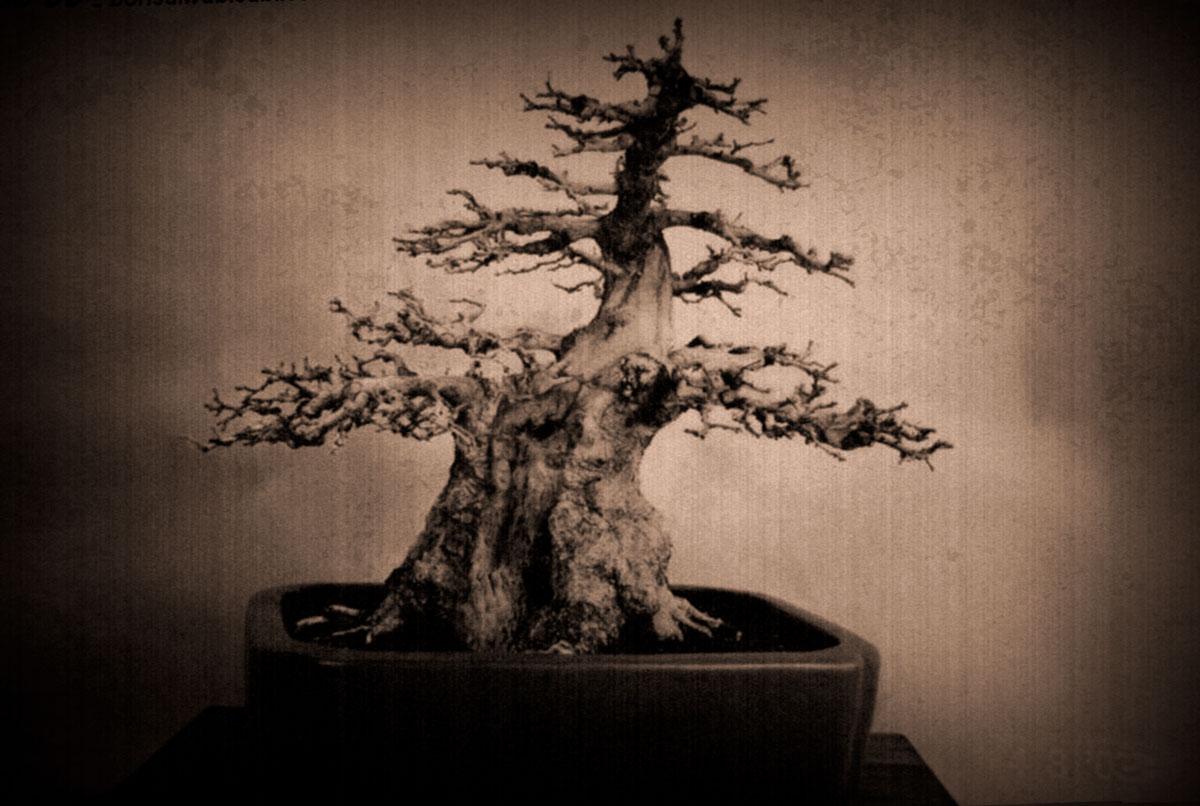 Iwashide (carpinus koreana)