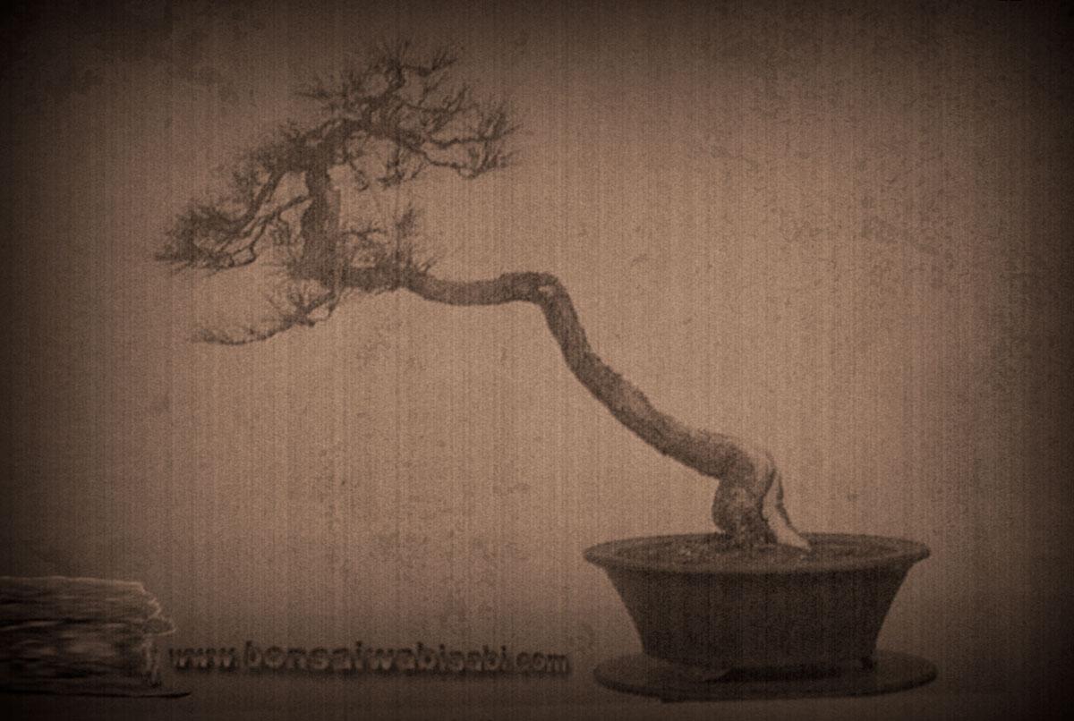 Akamatsu Big Bunjin (Pinus Densiflora)