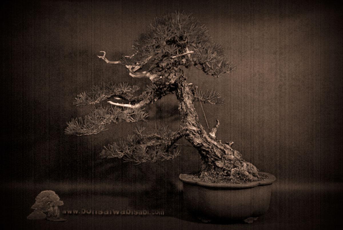 Akamatsu kawarigi (pinus densiflora)