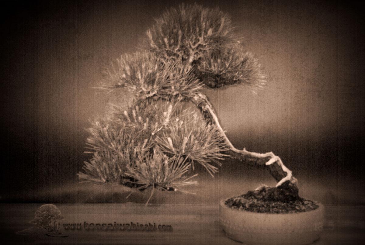 Akamatsu (pinus densiflora)