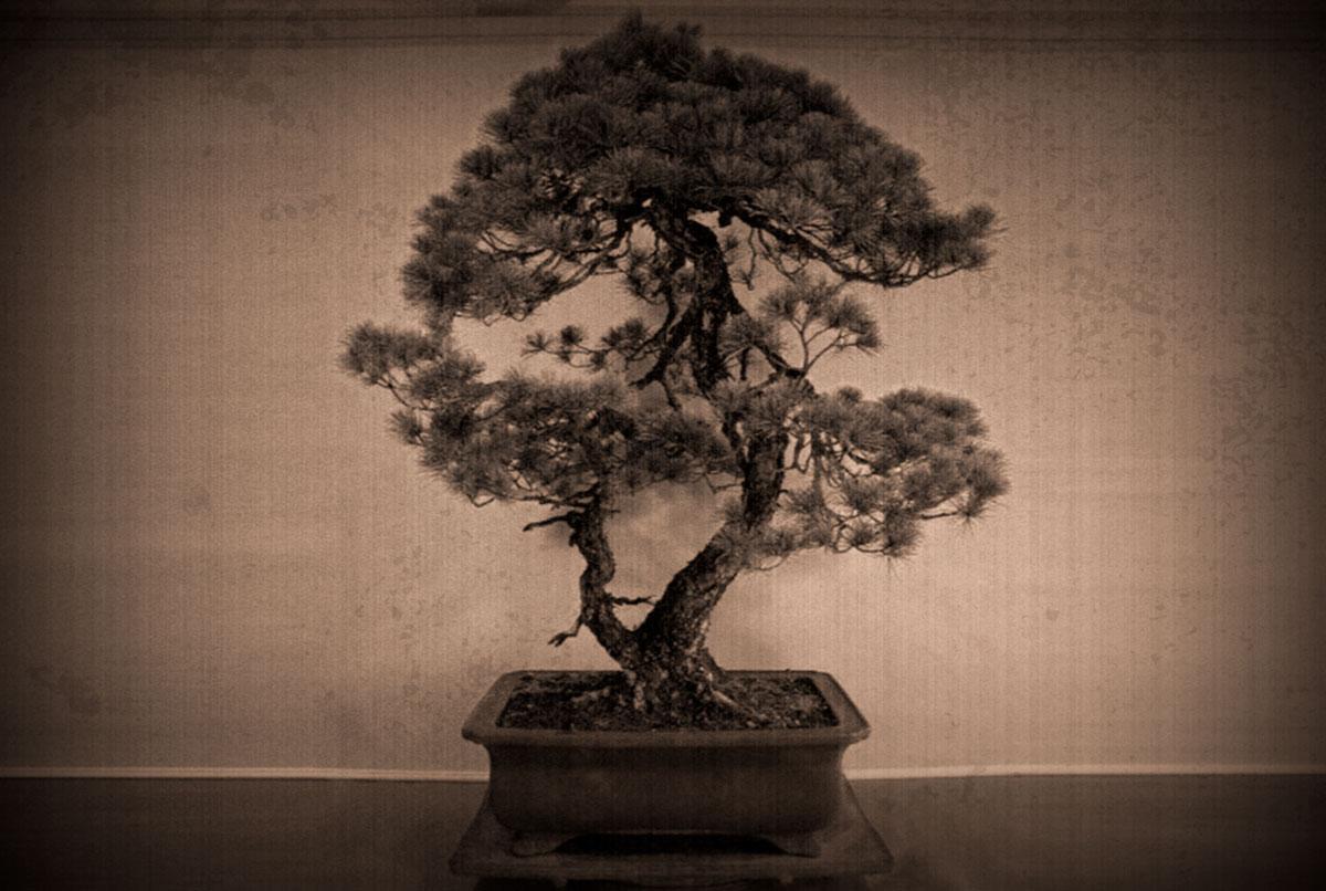 Goyo matsu (pinus parviflora)
