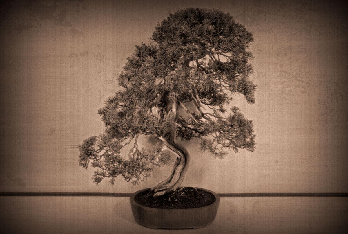 Shinpaku (juniperus chinensis)