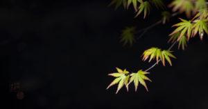 arce palmatum bonsai motorworld