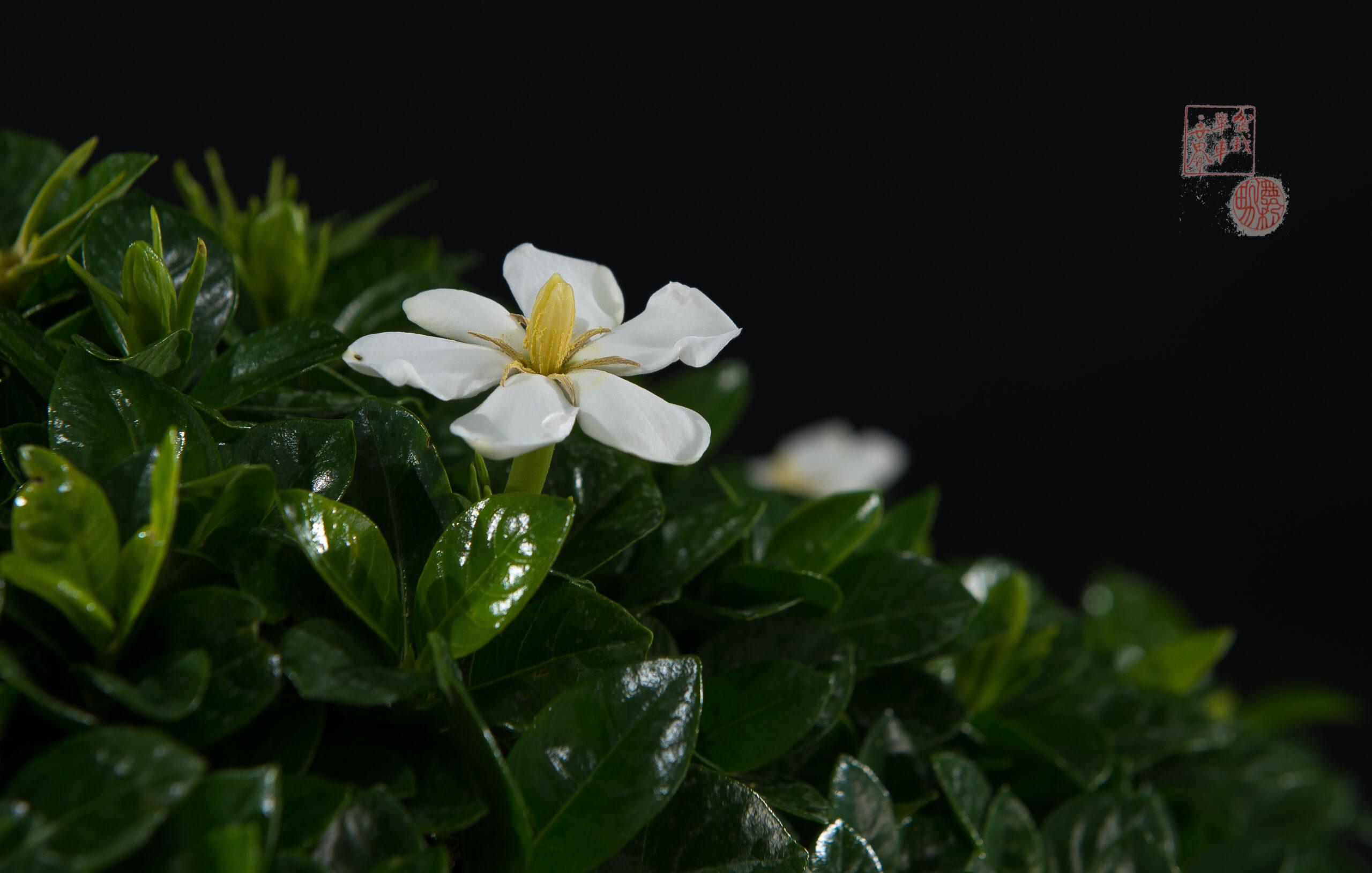 Gardenia de Sergio E. Serra