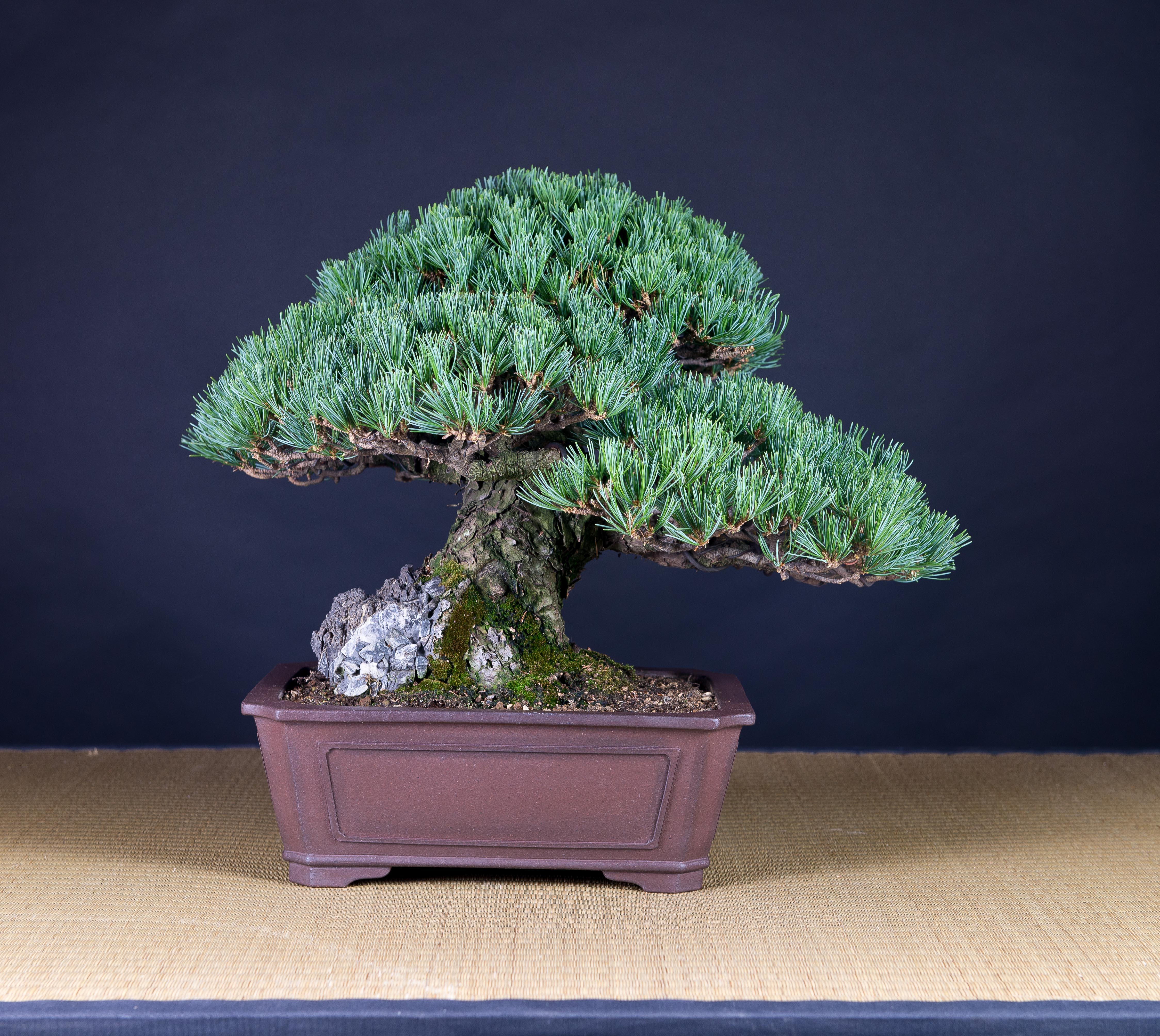 trasera de pino blanco, bonsai de Xema Laguna Font
