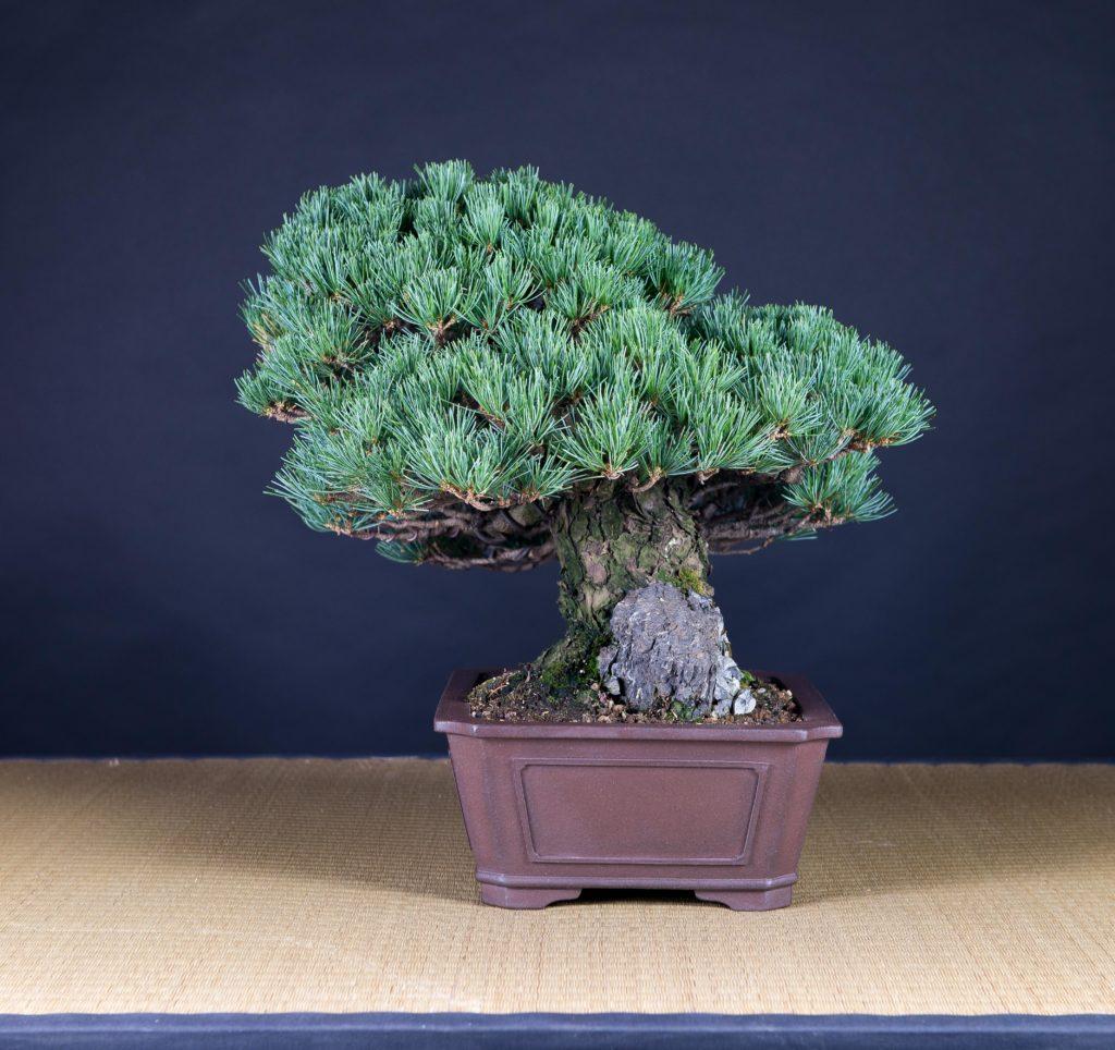 lateral de pino blanco, bonsai de Xema Laguna Font