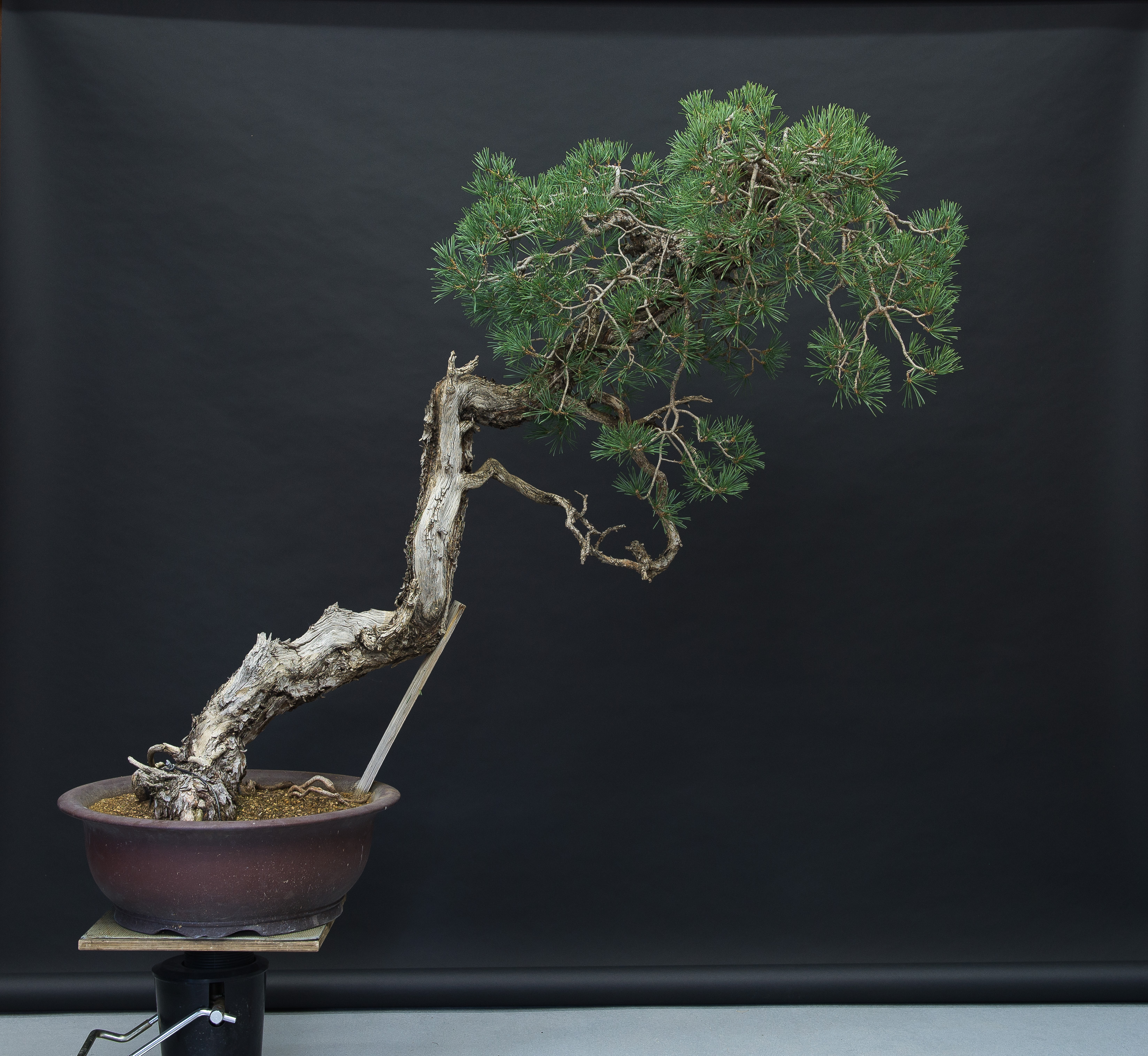 ángulo de plantado antiguo del pino bunjin