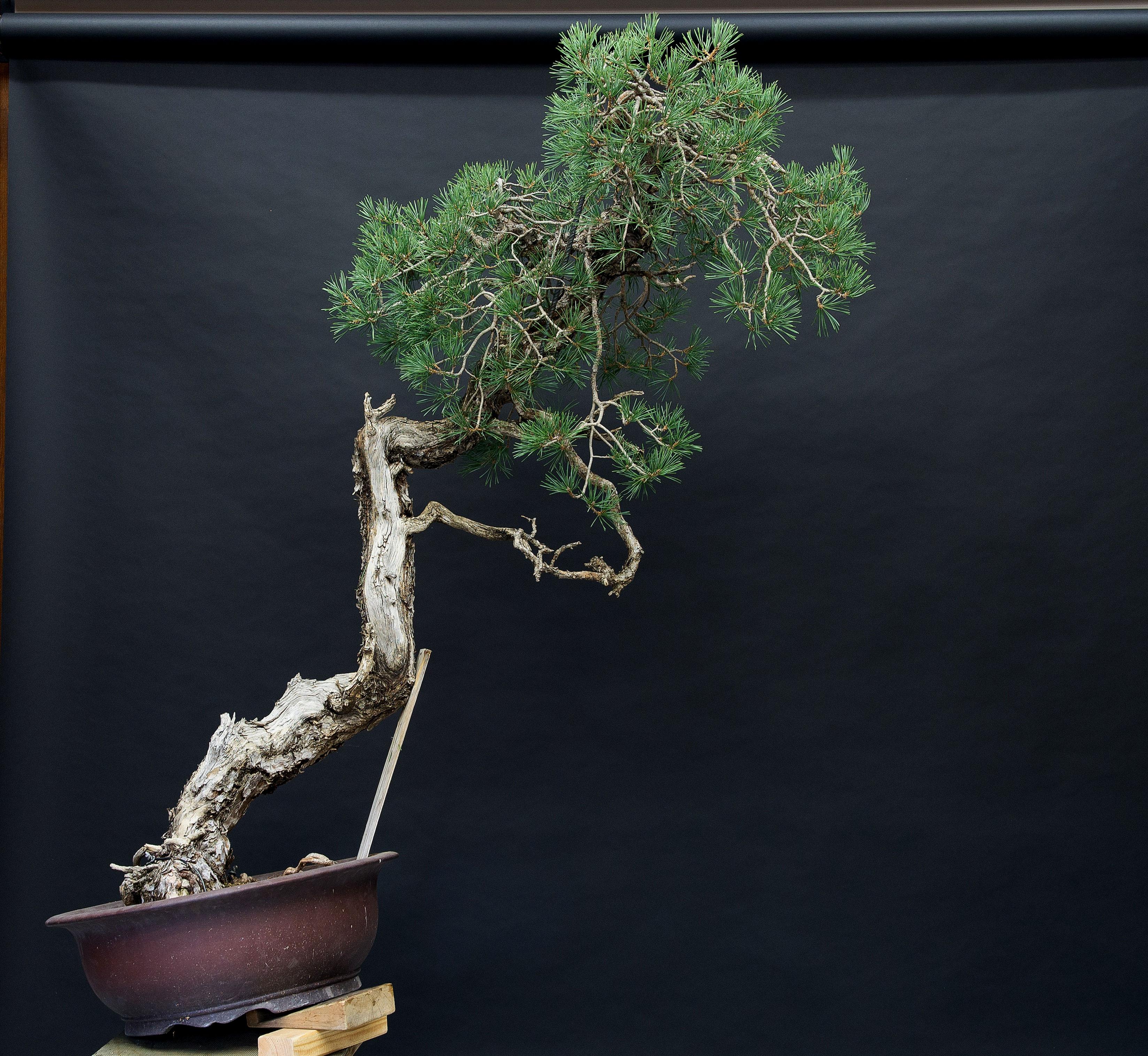 nuevo ángulo de plantado de pino bunjin