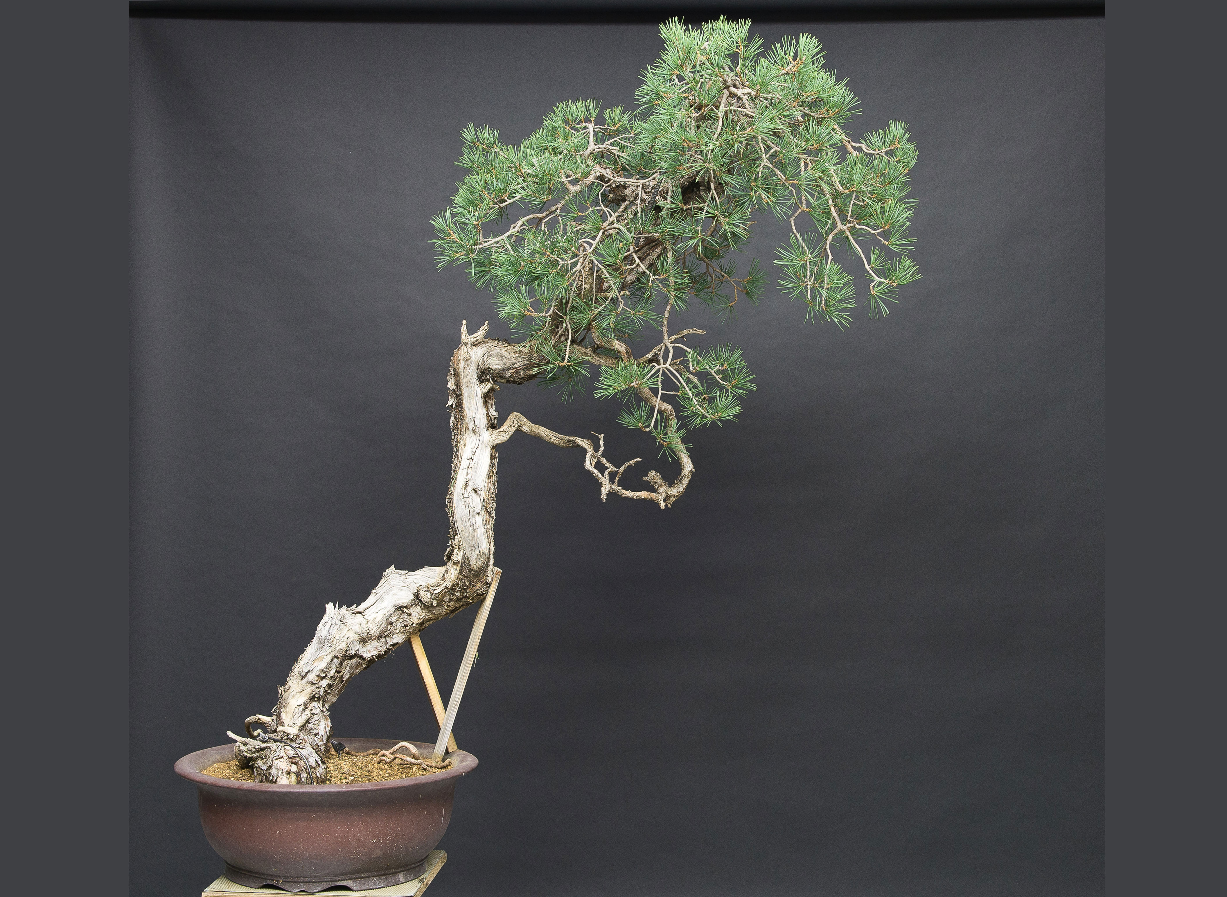 reposicionamiento del árbol levantándolo pero sin trasplante