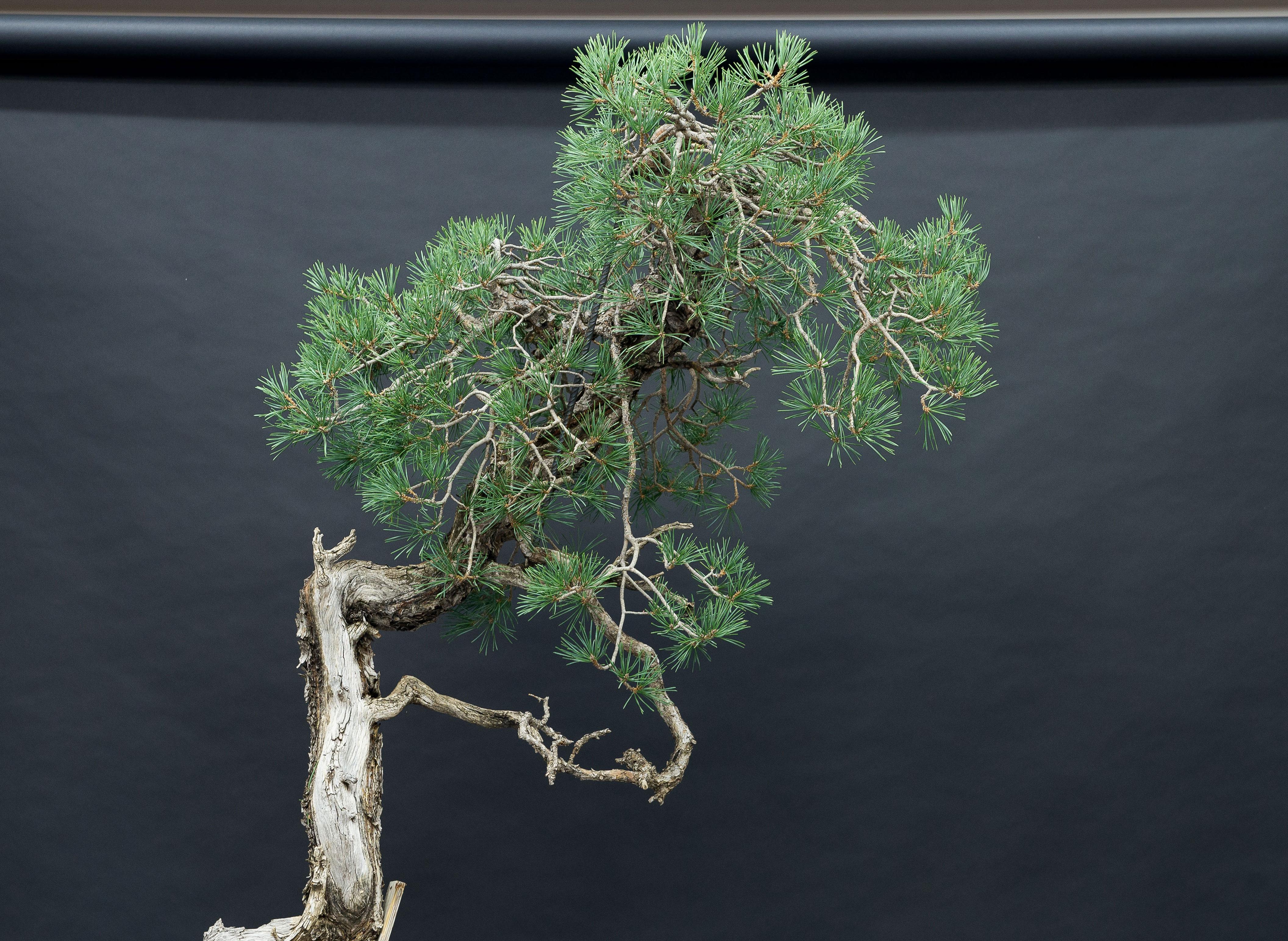 detalle de las ramas de pino bunjin de mario komsta