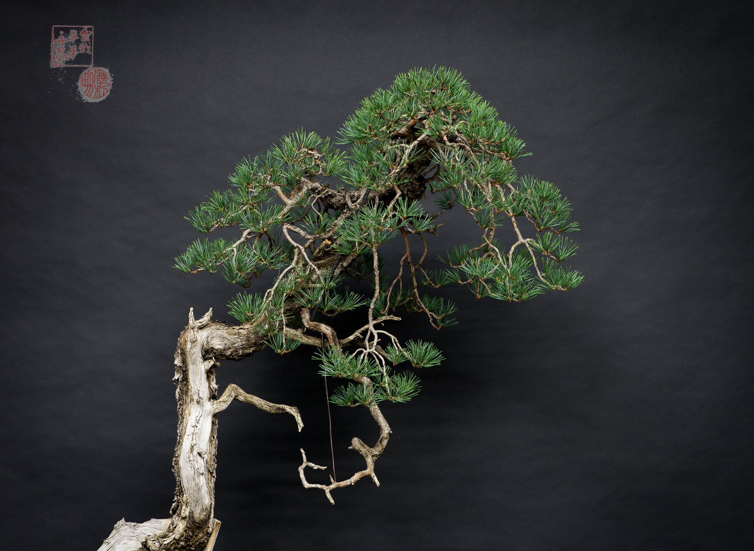 detalle de ramificación de bonsai de pino silvestris