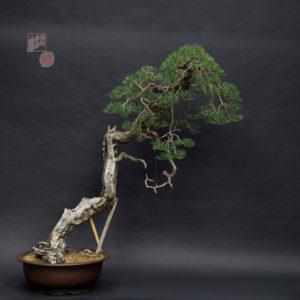 pinus silvestris bonsai bunjin style