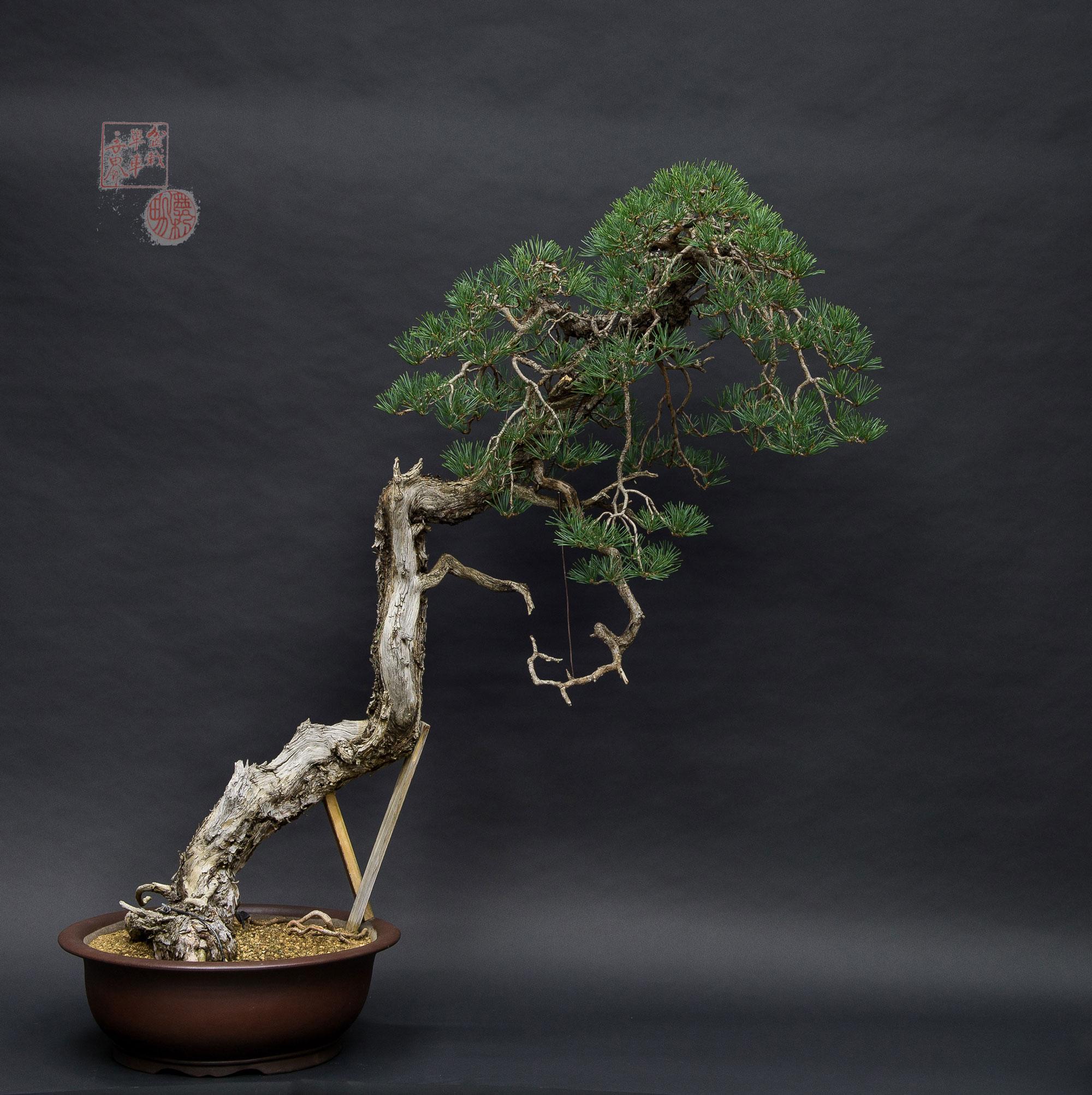 Bonsai de pino silvestris estilo bunjin