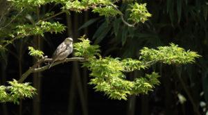 gorrión en un palmatum
