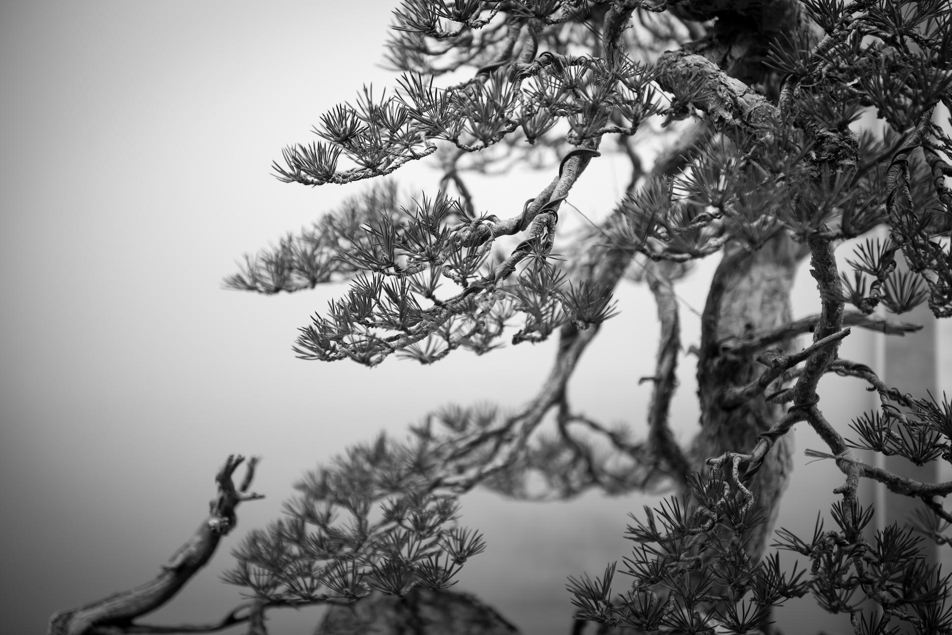 Pinus sylvestris 'Carne'