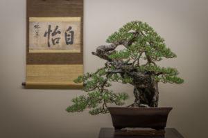 bonsai, pine