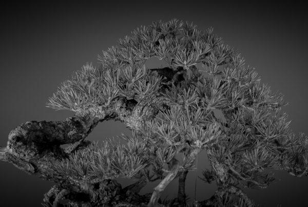 bonsai de pino silvestre