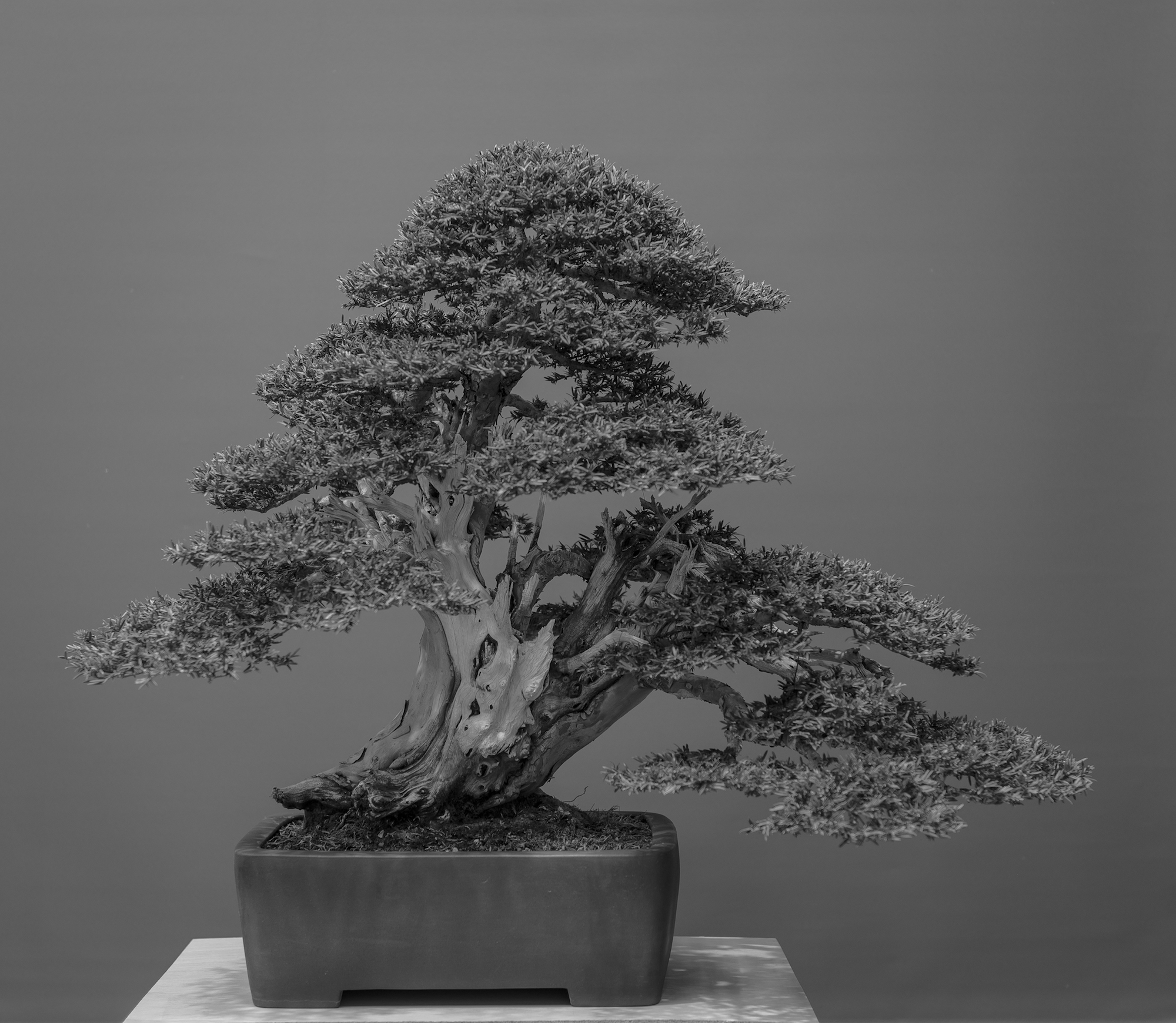 Taxus baccata by Angel Sanz